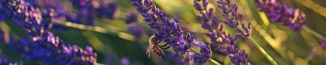 Closeup of blooming lavender in the field and bee